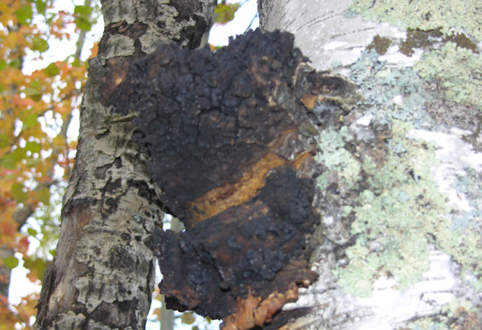 Chaga a True Forest Cure
