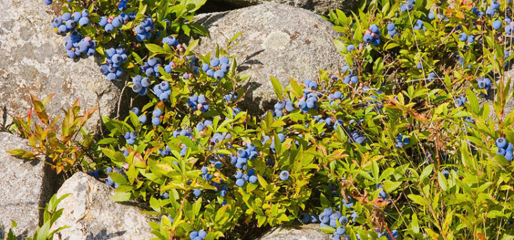 Wild Blueberries the Secret to Staying Healthy Forever?