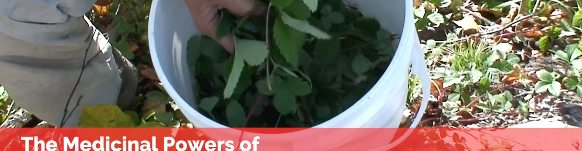 The Medicinal Powers of Wild Strawberry Leaves